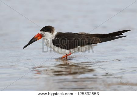 Black Skimmer Wading In Shallow Water - Florida