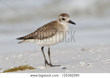 American Golden-plover On A Florida Beach