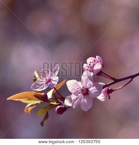 Beautiful Flowering Japanese Cherry Sakura. Season Background. Outdoor Natural Blurred Background Wi