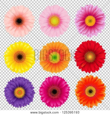 Big Colorful Gerbers Set, Isolated on Transparent Background, With Gradient Mesh, Vector Illustration