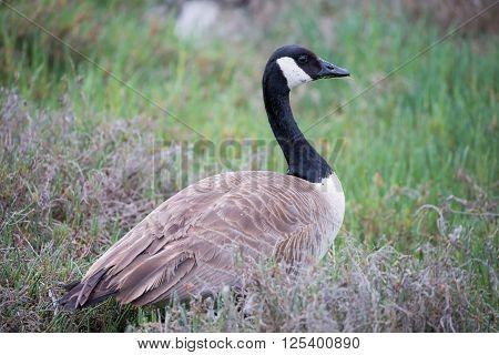 Canada goose (Branta canadensis) in grassland and shrubs background.