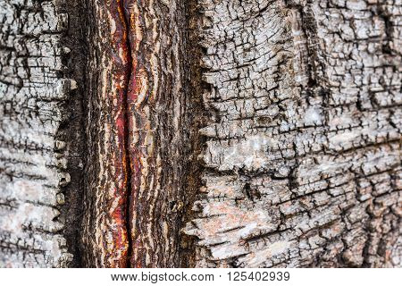 Closeup of damaged birch tree bark details