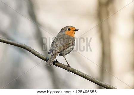 little bird the Robin redbreast sitting on a tree in spring Park