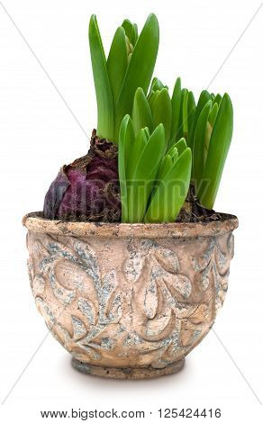Hyacinth sprouts in old ceramic pot isolated over white with clipping path
