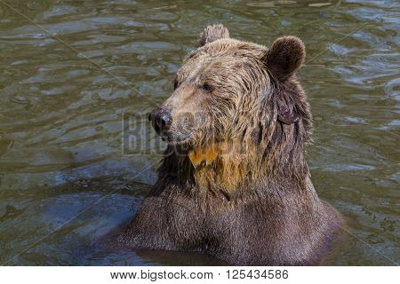 Brown Bear Bath
