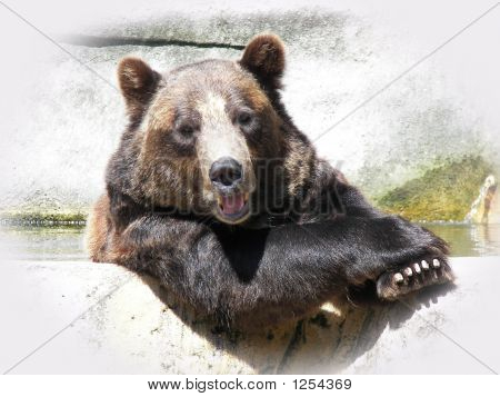 bear in captivity. zoo bear. cute and cuddly.posed bear. poster