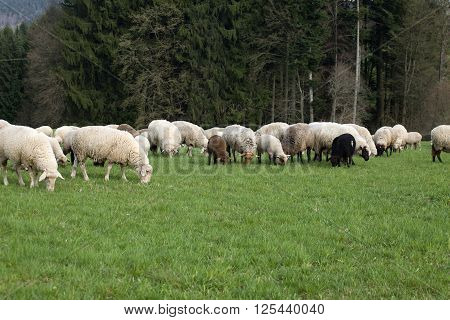 many sheep grazing on pasture, flock of sheep