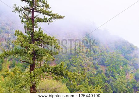 Pine forest in the fog and clouds taken in the San Gabriel Mountains, CA
