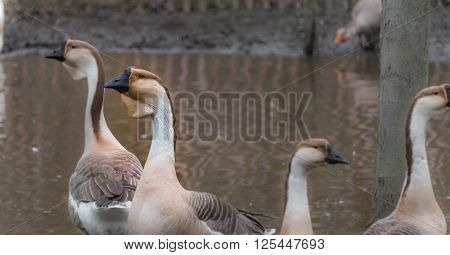 Long necked Chinese geese in their habitat of ponds on a hobby farm in Ontario, Canada.