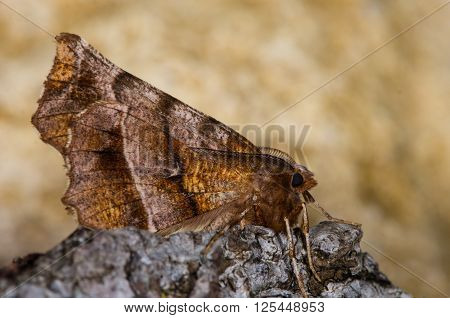 Early thorn moth (Selenia dentaria) on bark. Moth in the family Geometridae at rest showing pattern on underside of wings