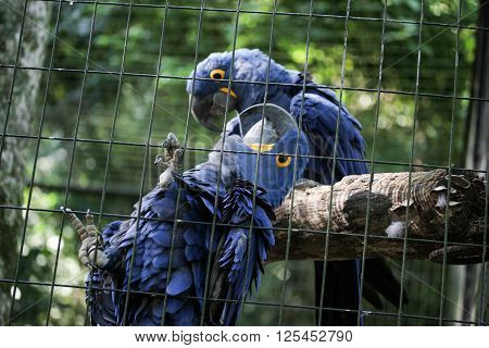 Two blue araras parrots together inside cage in Brazilian zoo