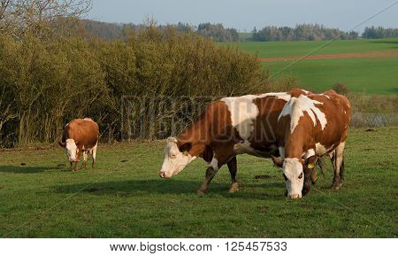 three cow on green grazing in front of the bushes in sunny spring day naturaly habitat