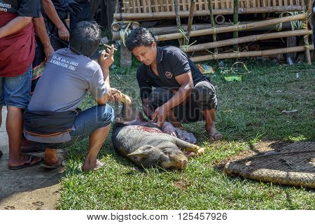 Men Cut Pig Slaughtered And Pull Out Entrails In Funeral Ceremony In Tana Toraja