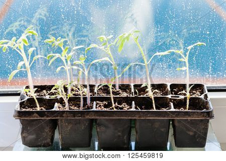 Container With Tomato Plant Sprouts On Sill