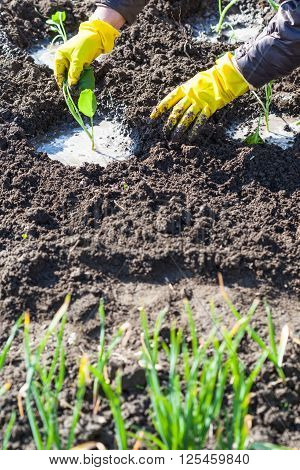 Farmer Planting Seedlings Of Cabbage In Wet Soil