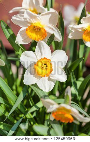 Narcissus Tazetta Cultivar Flowers On Flower Bed