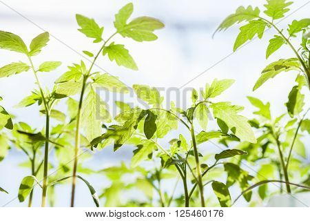 Many Sprouts Of Tomato Plant