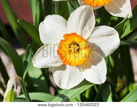 Bloom Of Narcissus Tazetta Cultivar Flower