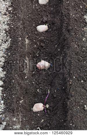 Seed Potatoes In Plowed Furrow