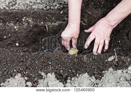 Farmer Plants Seed Potato In Hole In Garden