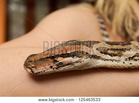 srilankan python with human arm - close up