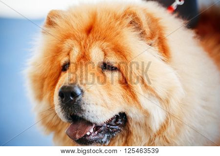 Red Chines Chow Chow Dog Close Up Portrait