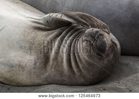 Elephant Seal Covers His Eye With Flipper