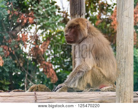 baboon sitting on logs and looks into the distance