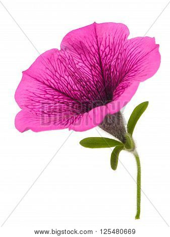 Bright Pink Petunia Flower Close-up Isolated On White Background