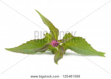 Agastache (Anise Hyssop) Blue Fortune with leaves isolated on a white background
