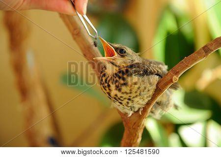 Fieldfare Nestling With Open Beak Ready To Eat A Fly