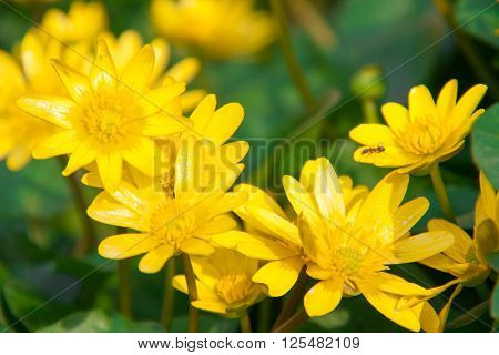 ficaria verna yellow spring flowers as a background.