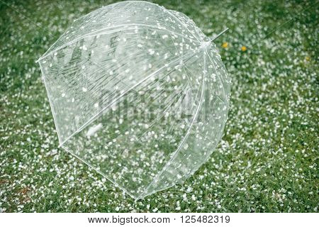 on the green grass with petals of flowering trees is transparent umbrella