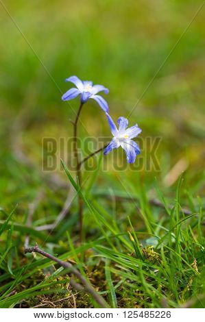 Blue Scilla Siberica Flowers