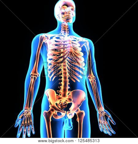 3D illustration The skeleton of an adult human consists of 206 bones. It is composed of 237 bones birth, which decreases to 206 bones by adulthood after some bones have fused together.