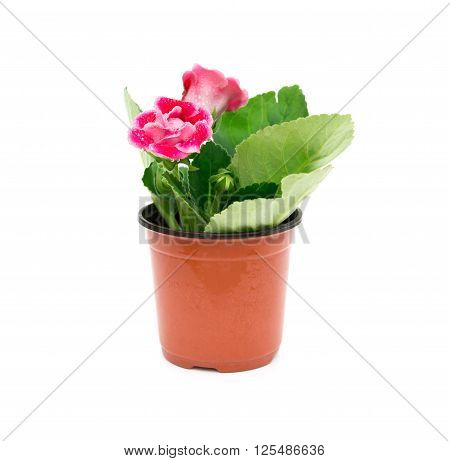 Red Gloxinia (Sinningia) with drips in a pot on a white background