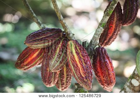 A view of cocoa pods growing on tree in Huayhuantillo village near Tingo maria in Peru 2011