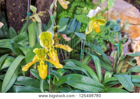 tropical pitcher plants monkey cups in the garden background
