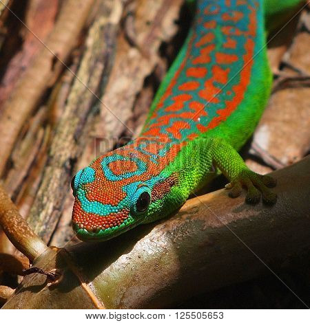 Green and turquoise day gekko in natural habitat