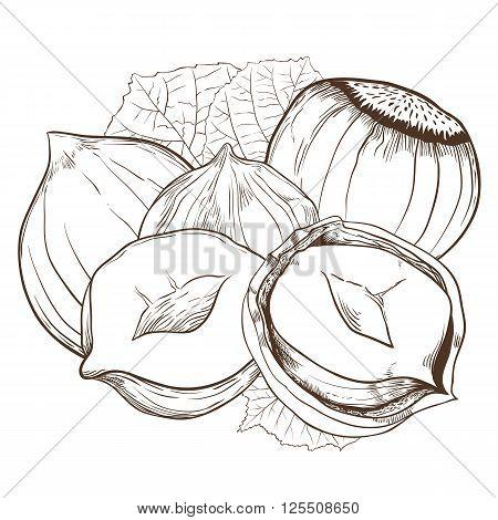 Hazelnut vector isolated on white background. Hazelnut seeds. Engraved vector illustration of leaves and nuts of Hazelnut. Hazelnut in vintage style.