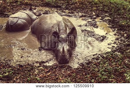 Rhino is eating the grass in wildlife, Chitwan national park, Nepal