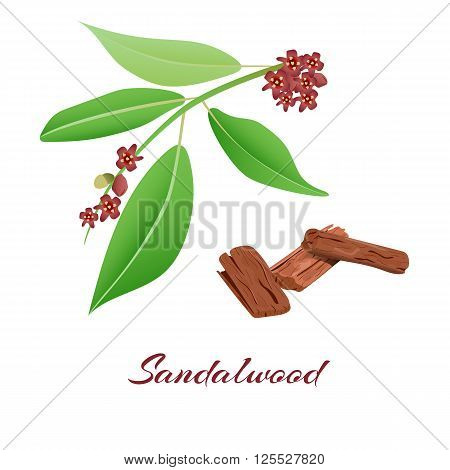 Flowering sandalwood tree branch and bark.Vector illustration.