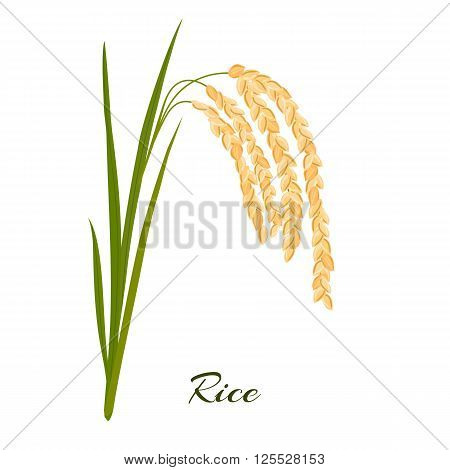 Rice. Leaves and spikelets of rice on a white background. Vector illustration. Eps 10.