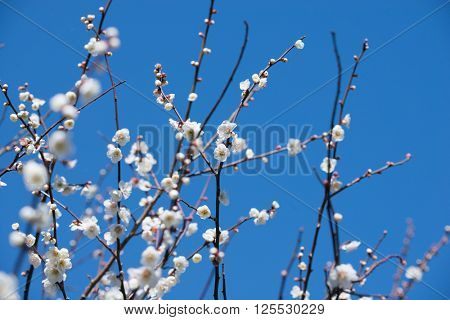 White Plum blossom in spring with blue sky in background. Focus on center flower.