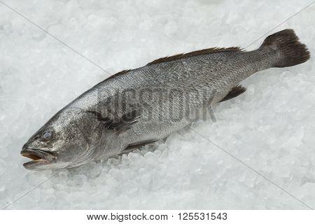Fresh raw corvina fish on ice