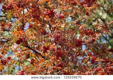 Colorful rowan tree in autumn sun light