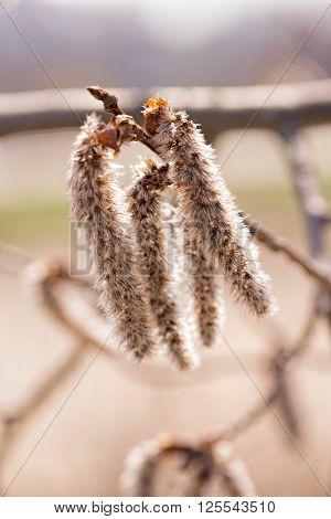 Populus Alba Catkin