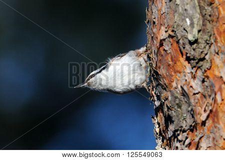 Eurasian Nuthatch (Sitta europaea) seeks feed at pine-tree in spring. National park Plesheevo Lake Yaroslavl region Russia