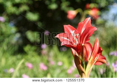 Red flower standing in green garden in Spring