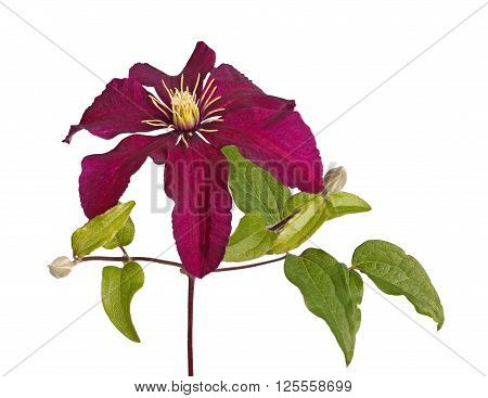 Deep purple flower and developing buds of clematis cultivar Niobe isolated against a white background